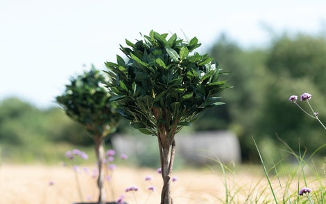Artificial bay tree in rural garden setting