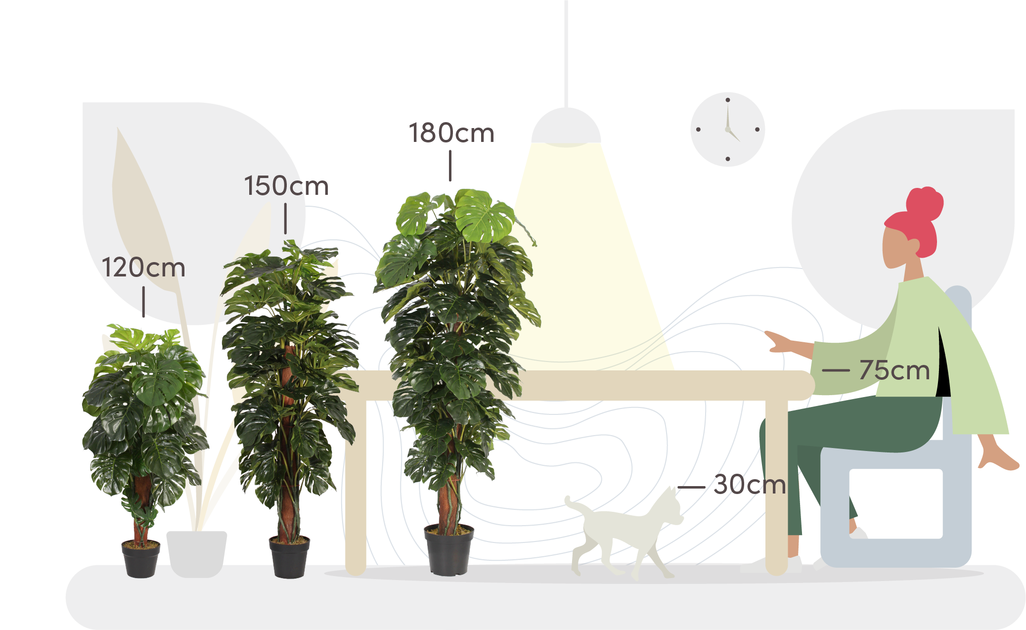 Cheese plant size comparison